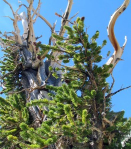Great Basin National Park Bristlecone