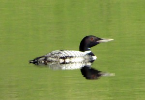 Loon at Caribou Cabin