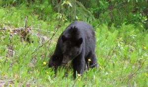 Bear - British Columbia