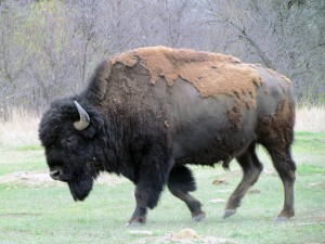 Buffalo in Theodore Roosevelt National Park - North Dakota