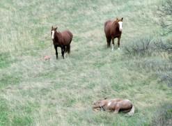 WIld Horses in Theodore Roosevelt National Park - North Dakota