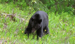 Bear - British Columbia