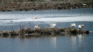 Nesting trumpeter swans