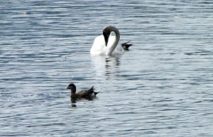 Trumpeter swans and cygnets2