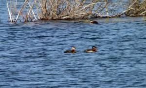 Waterfowl on Pine Lake - Yukon2