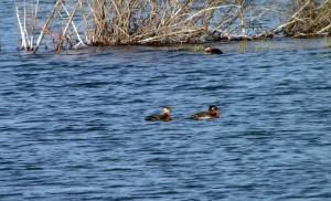 Waterfowl on Pine Lake - Yukon2