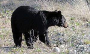 Yukon Bear