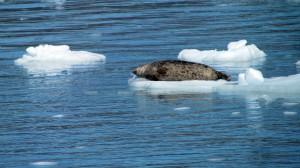 Harbor Seal on Ice