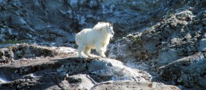 Mountain Goat2