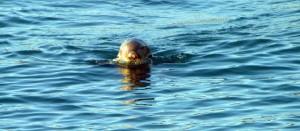 Sea Otter2