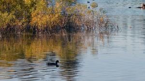 Duck on Manzanita Lake3
