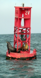 Channel Islands seals - Copy