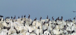 Cormorants - Copy