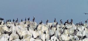 Cormorants - Copy