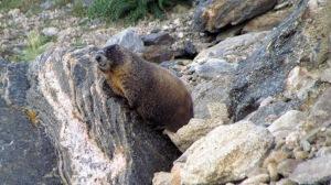 marmot2 (2)