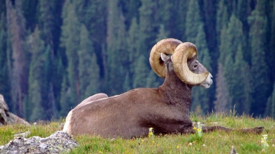 Mountain sheep4