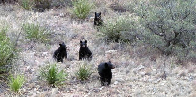 Bears in Big Bend.jpg