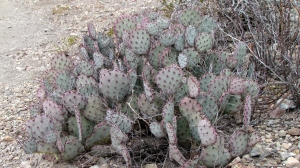 Prickly Pear - Purple-tinged